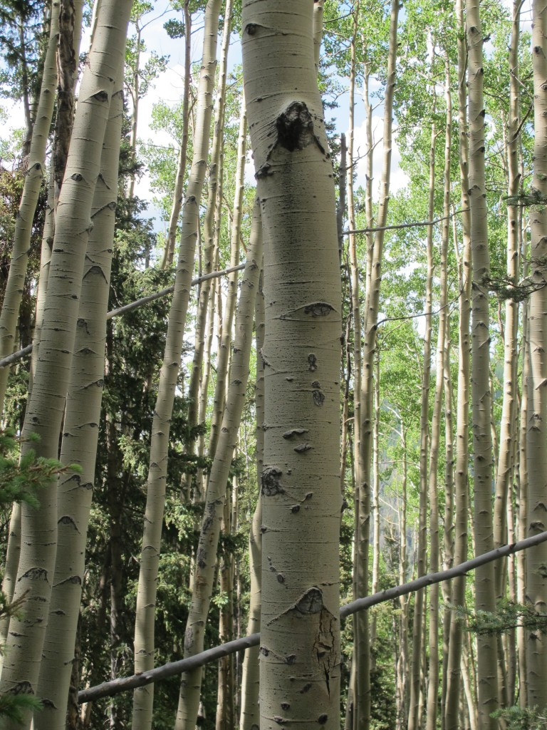 Aspens on Trail
